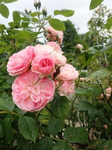 Rosa 'Bouquet Parfait' !!! - Page 11 P4050049