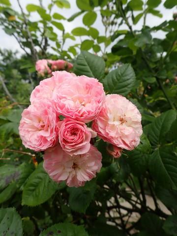 Rosa 'Bouquet Parfait' !!! - Page 11 P4050050