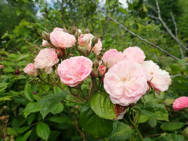 Rosa 'Bouquet Parfait' !!! - Page 11 P4050051