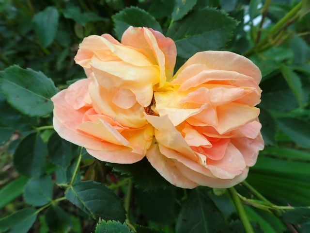rosa 'lady of shalott' - Page 6 P4050059