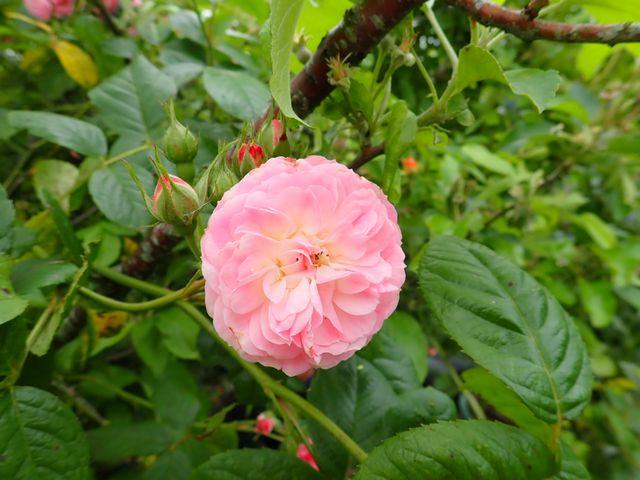 Rosa 'Bouquet Parfait' !!! - Page 11 P4050065