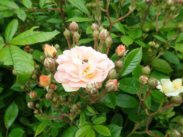 rosier 'Ghislaine de Feligonde' - Page 2 P4050077