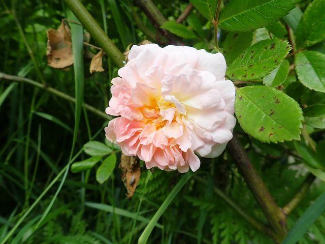 rosier 'Ghislaine de Feligonde' - Page 2 P4050078