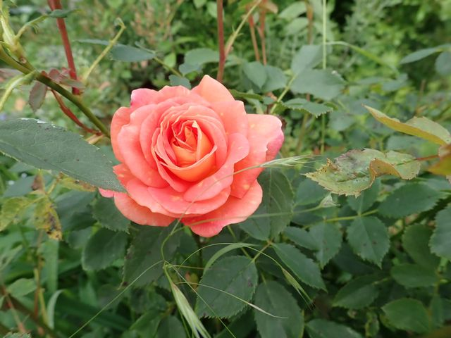 rosa 'lady of shalott' - Page 6 P4060044