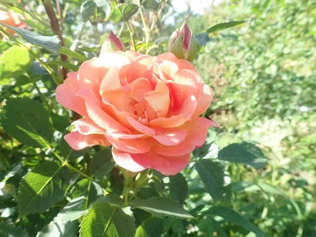 rosa 'lady of shalott' - Page 6 P4060046