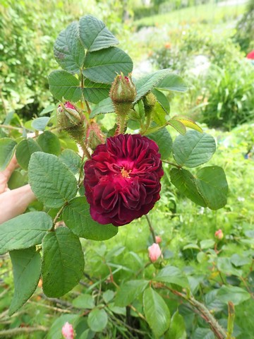rosier 'La Reine Brune' P4070016
