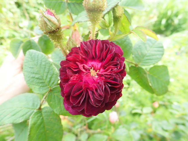 rosier 'La Reine Brune' P4070017