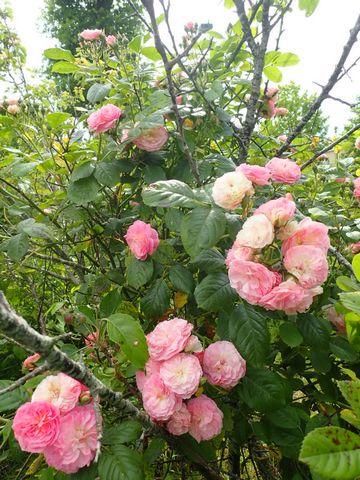 rosier 'Bouquet Parfait' P4070018