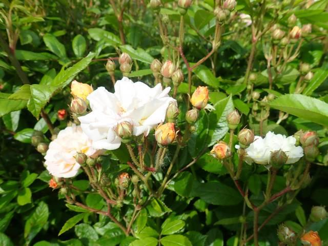 rosier 'Ghislaine de Feligonde' - Page 2 P4070026