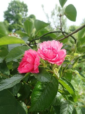 rosier 'Pink Grootendorst' P4070027