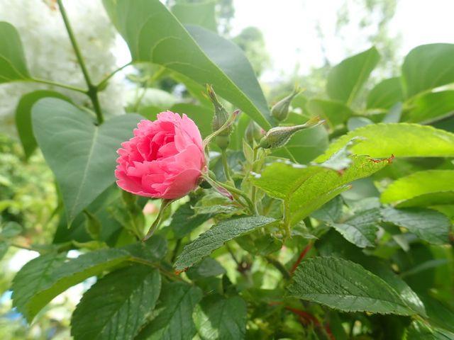 rosier 'Pink Grootendorst' P4070028