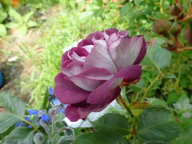 tous ces rosiers que l'on aime - floraisons - Page 7 P4110010
