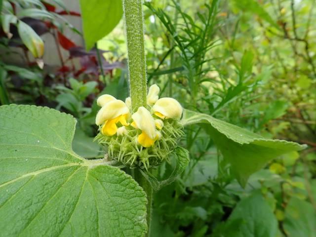 Phlomis russeliana !!! P4110113