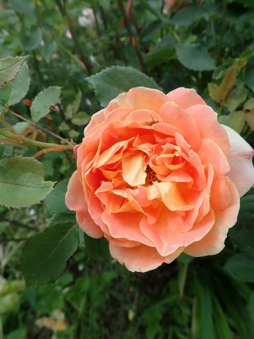 rosa 'lady of shalott' - Page 6 P4120117