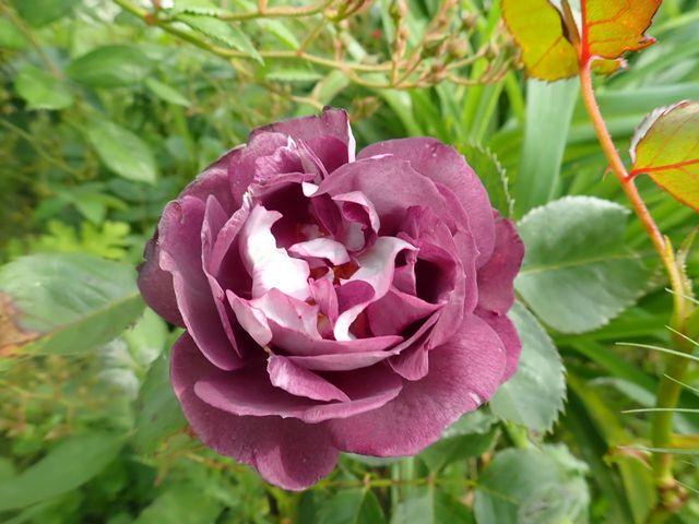 tous ces rosiers que l'on aime - floraisons - Page 7 P4120210