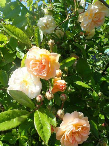 rosier 'Ghislaine de Feligonde' - Page 2 P4140213