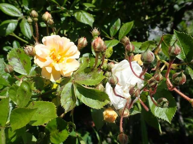 rosier 'Ghislaine de Feligonde' - Page 2 P4140214