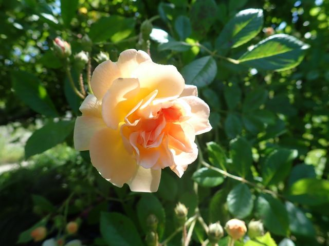 rosier 'Ghislaine de Feligonde' - Page 2 P4140215