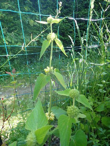 Phlomis russeliana !!! P4180420