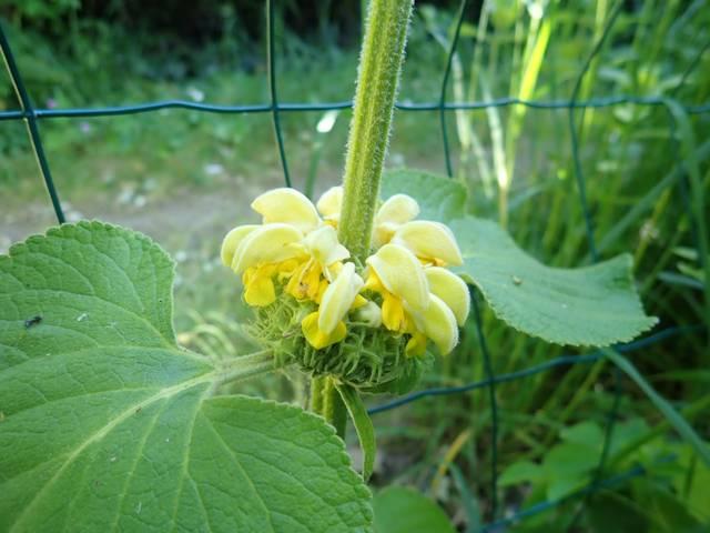 Phlomis russeliana !!! P4180421
