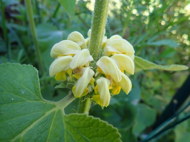 Phlomis russeliana !!! P4180422