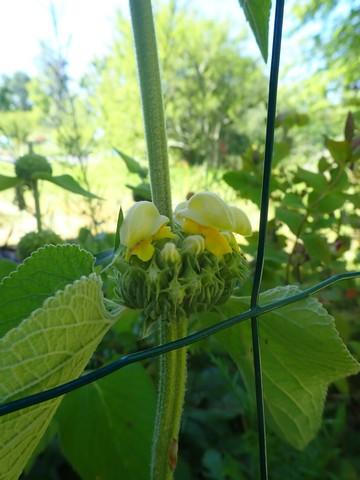 Phlomis russeliana !!! P4180423