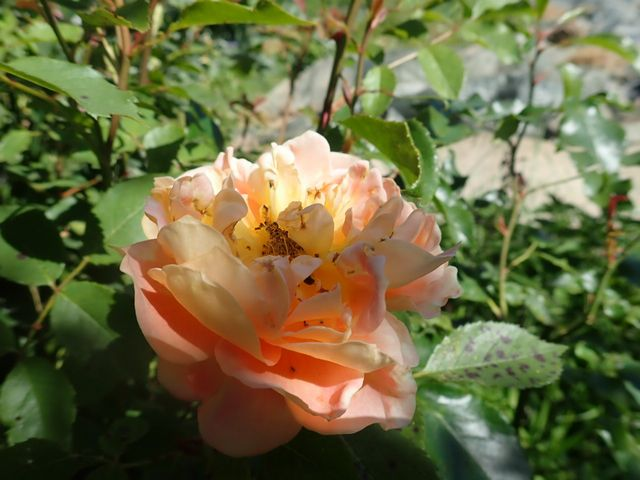rosa 'lady of shalott' - Page 6 P4180429