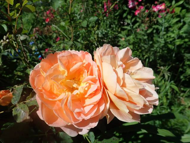 rosa 'lady of shalott' - Page 6 P4180430