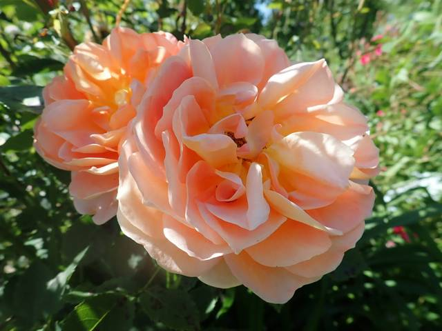 rosa 'lady of shalott' - Page 6 P4180431