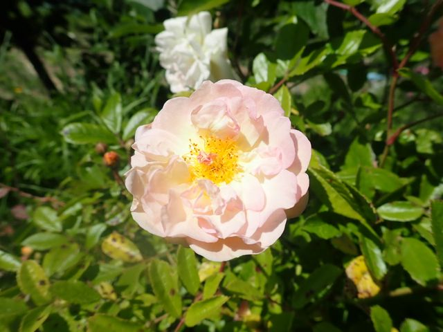 rosier 'Ghislaine de Feligonde' - Page 2 P4180432