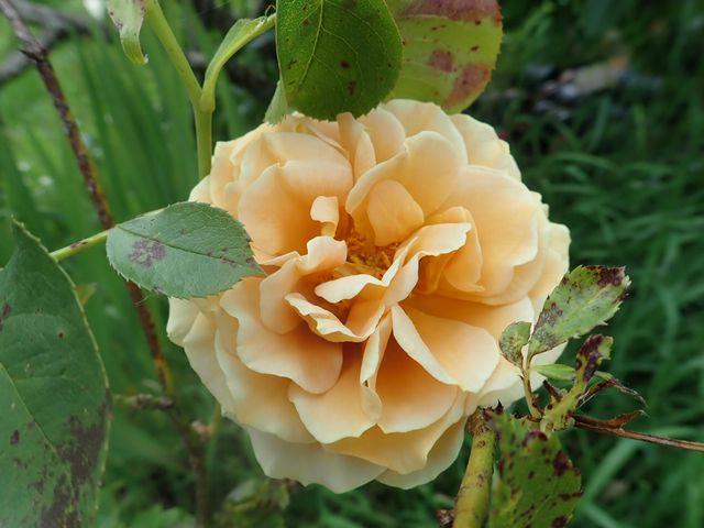 tous ces rosiers que l'on aime - floraisons - Page 7 P4210522