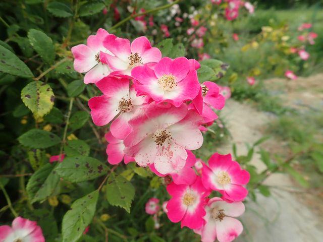 rosier 'Mozart' P4210542