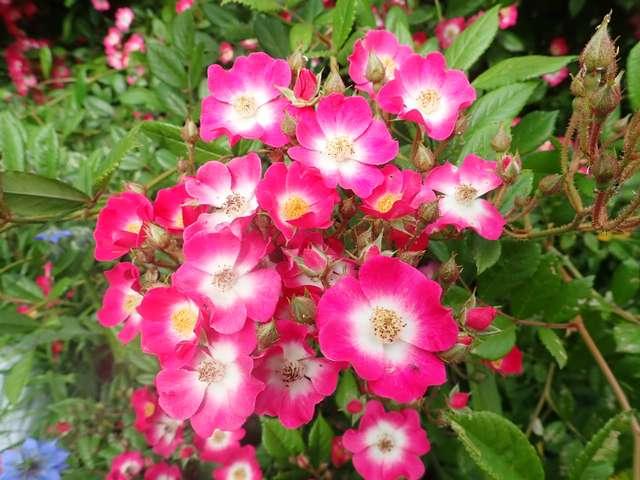 rosier 'Mozart' P4210543