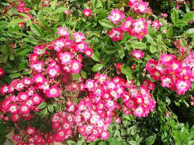 rosier 'Mozart' P4210546