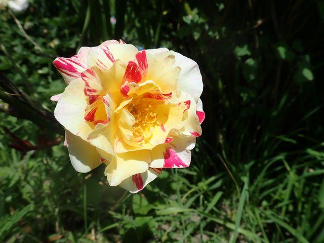 rosier 'Camille Pissaro' - Page 2 P4230624