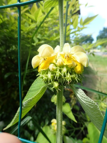 Phlomis russeliana !!! P4230634