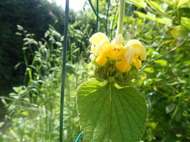 Phlomis russeliana !!! P4230635