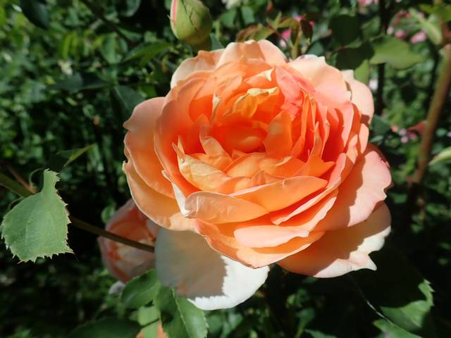 rosa 'lady of shalott' - Page 6 P4270735