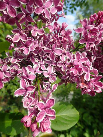Syringa vulgaris - lilas commun P4302219