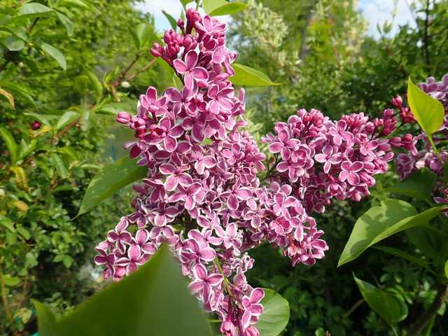 Syringa vulgaris - lilas commun P4302220