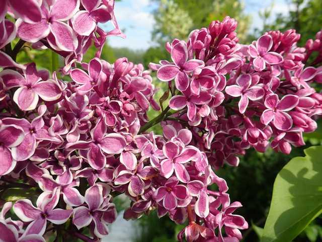 Syringa vulgaris - lilas commun P4302221