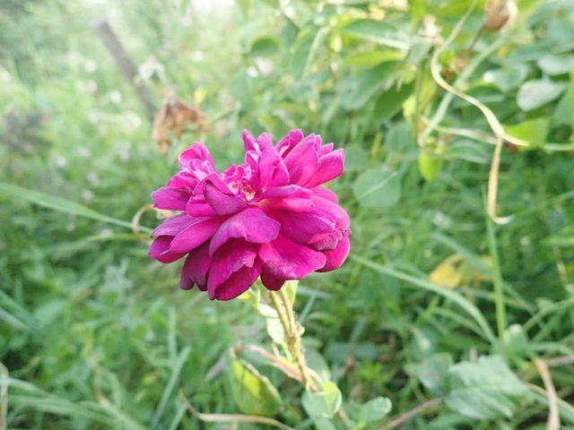 tous ces rosiers que l'on aime - floraisons - Page 7 P5040820