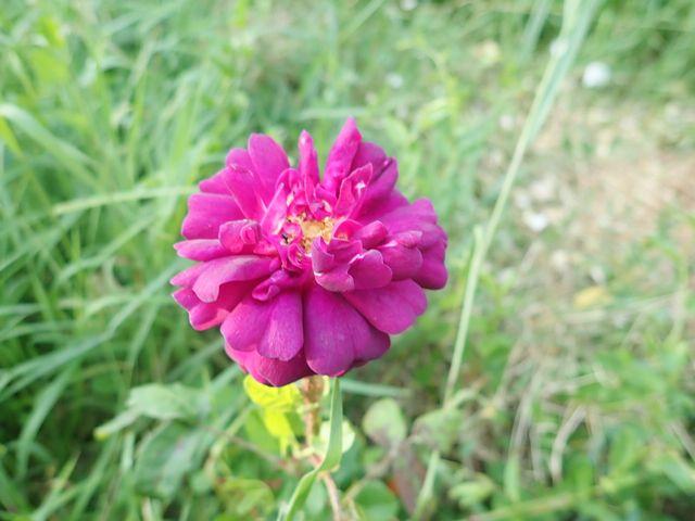 tous ces rosiers que l'on aime - floraisons - Page 7 P5040821