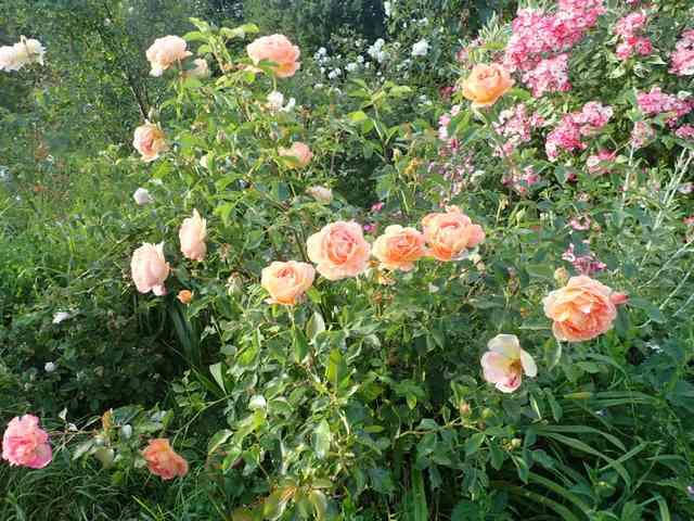 rosa 'lady of shalott' - Page 7 P5040836