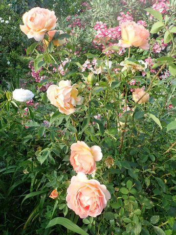 rosa 'lady of shalott' - Page 7 P5040837