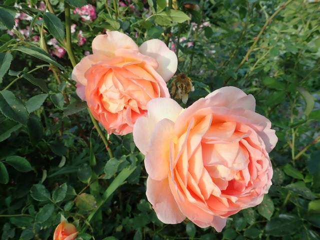 rosa 'lady of shalott' - Page 7 P5040838