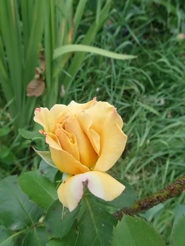 tous ces rosiers que l'on aime - floraisons - Page 7 P5080914