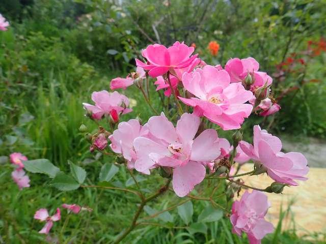 tous ces rosiers que l'on aime - floraisons - Page 7 P5160017