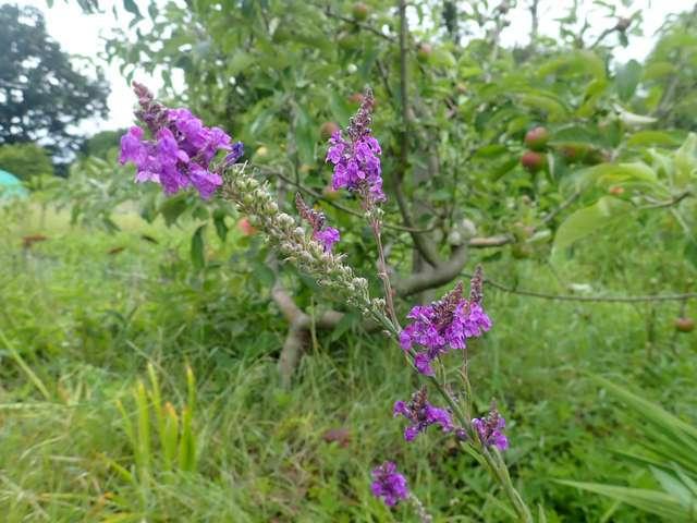 Linaria  purpurea -  linaire pourpre [Identification ] P5160022