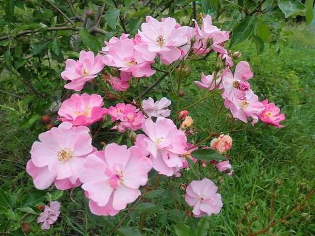 rosa lavander dream - Page 3 P5160026